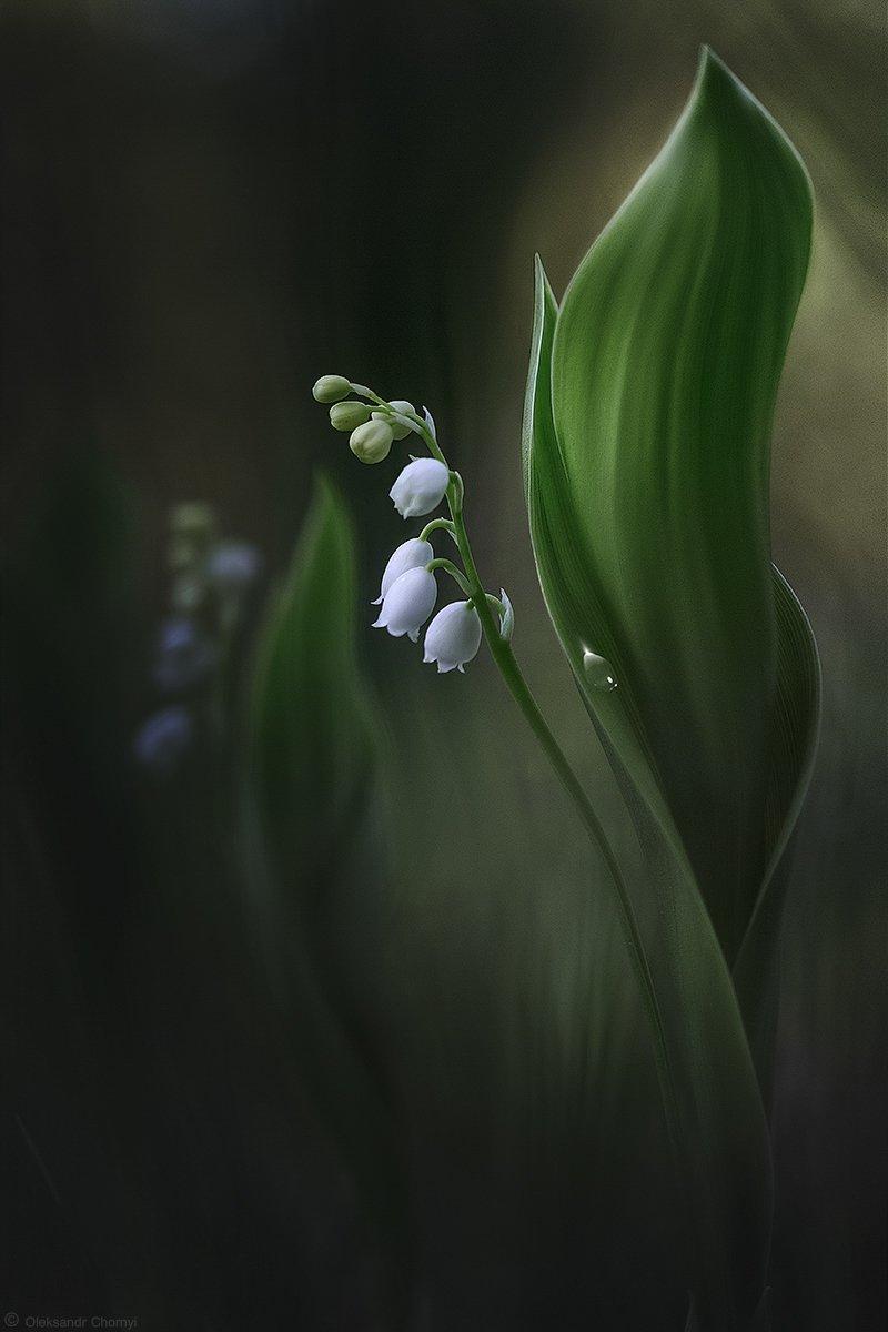украина, коростышев, природа, макро, макро красота, макро мир, цветы, нежность, лес, полесье, весна, любовь, ландыши, вдохновение, сказка, волшебство, мечты, таинственные миры, жизнь, фотограф, чорный,, Александр Чорный