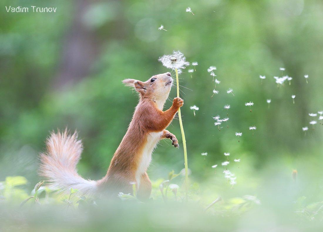 белка, одуванчик, squirrel, Вадим Трунов