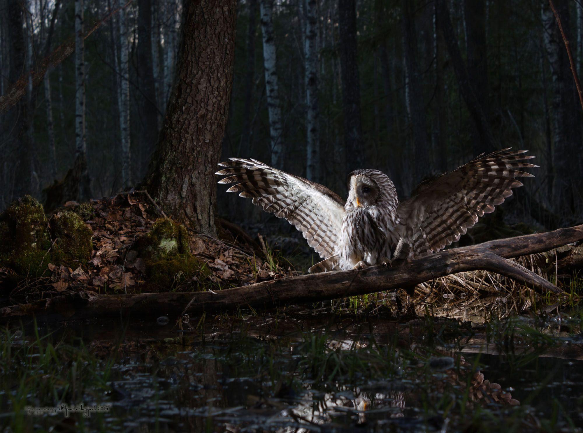 неясыть длиннохвостая, ural owl, сумерки, лес, Юрий Андреев