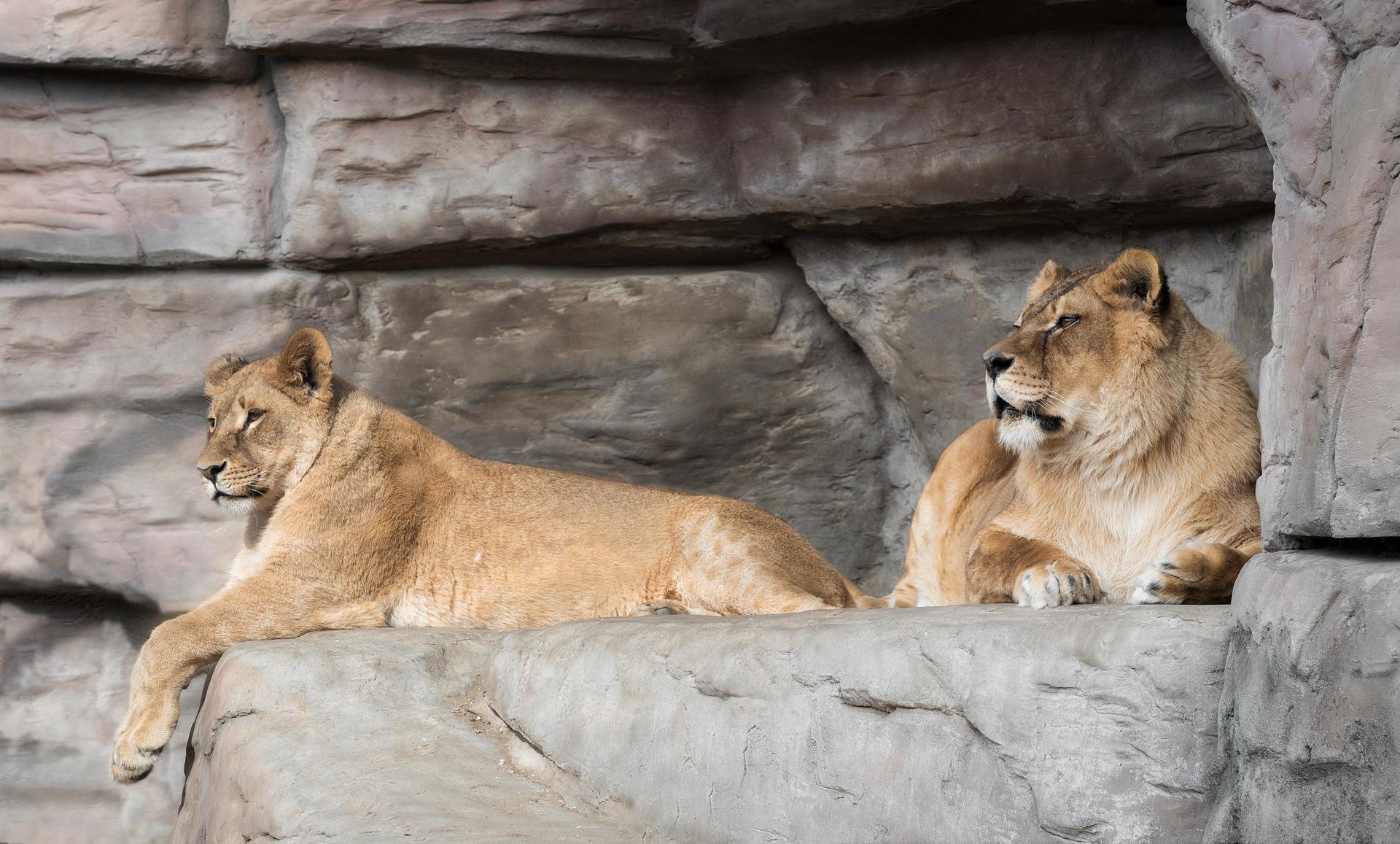 cat ,wild, wildanimal, wildanimals, wildlife, wildlifephotography, wild_animal,wildanimalphotography, кот, беларусь,минский зоопарк,тигр ,minsk zoo, belarus,lionesses,lion,львы,львицы, Хрол Полина