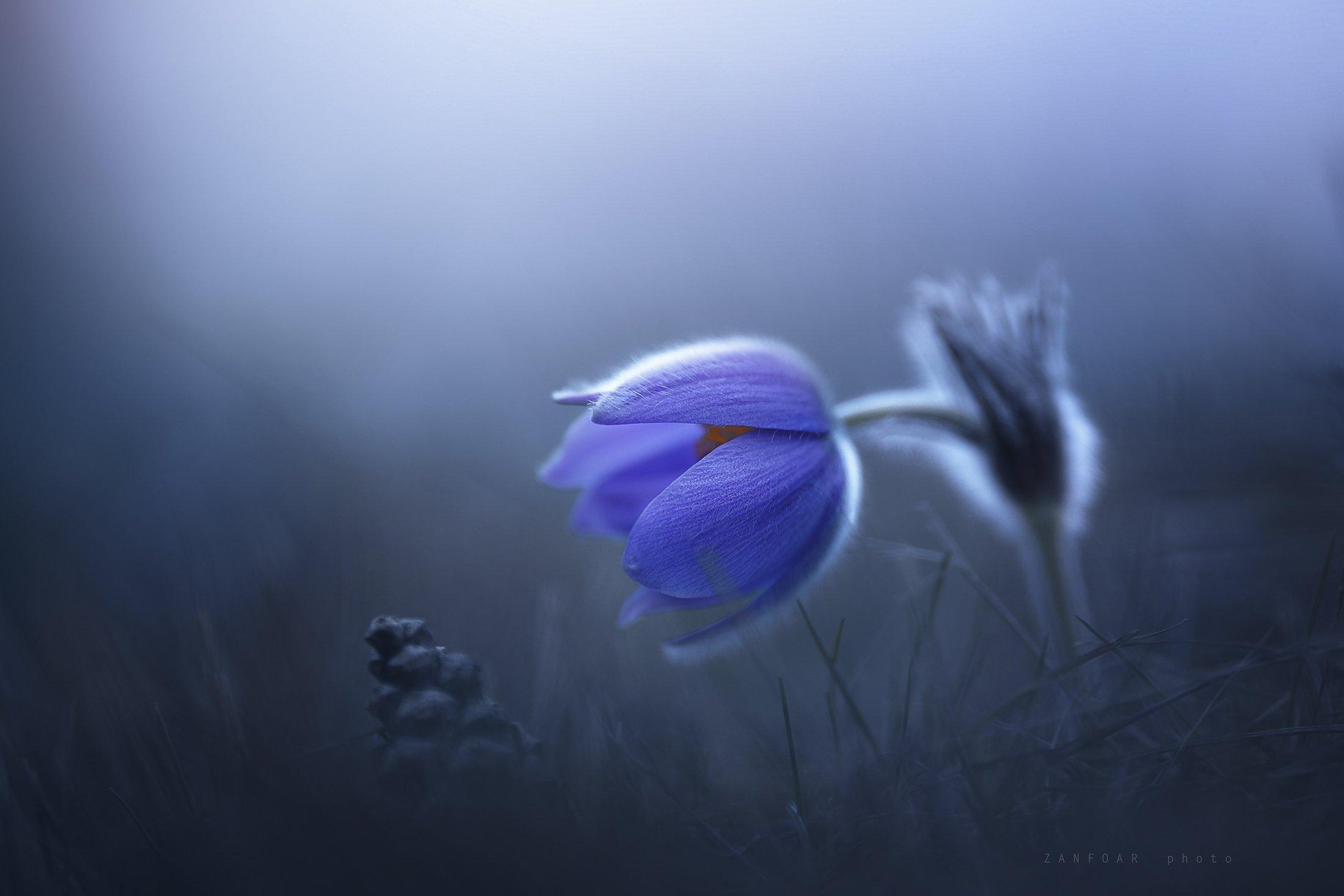 мистический цветок,цветок,zanfoar,nikon d750,czech republic,czechia,чехия,pulsatilla grandis,koniklec velkokvětý,пульсатилла (pulsatilla grandis), Zanfoar