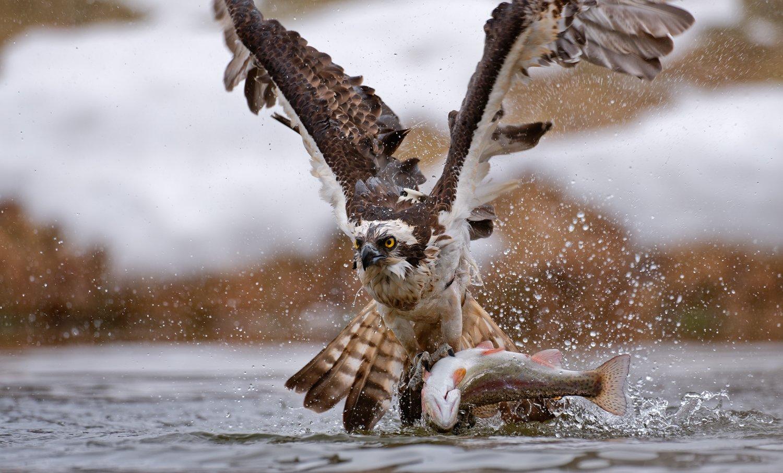 скопа, osprey, Igor Shilokhvost