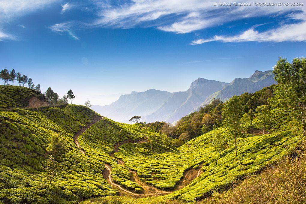 индия, керала, чай, муннар, поля, горы, Антон Янковой (www.photo-travel.com.ua)