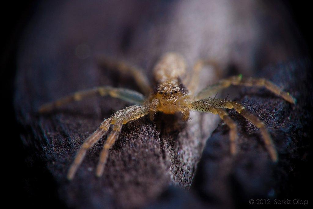 macro, crab spider, nature, nikon, d80, small, cute, oleg serkiz, Oleg Serkiz