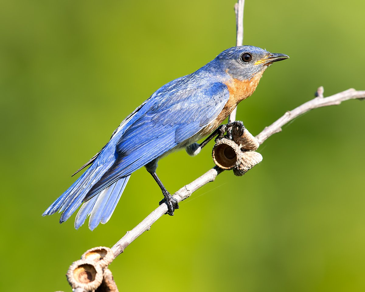восточная сиалия, eastern bluebird,bluebird, Elizabeth E