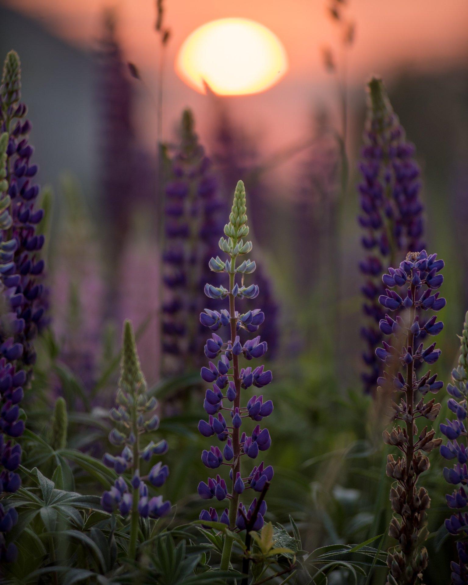 люпины, рассвет, великий новгород, цветы, лето, жара, июнь, Роман Ф
