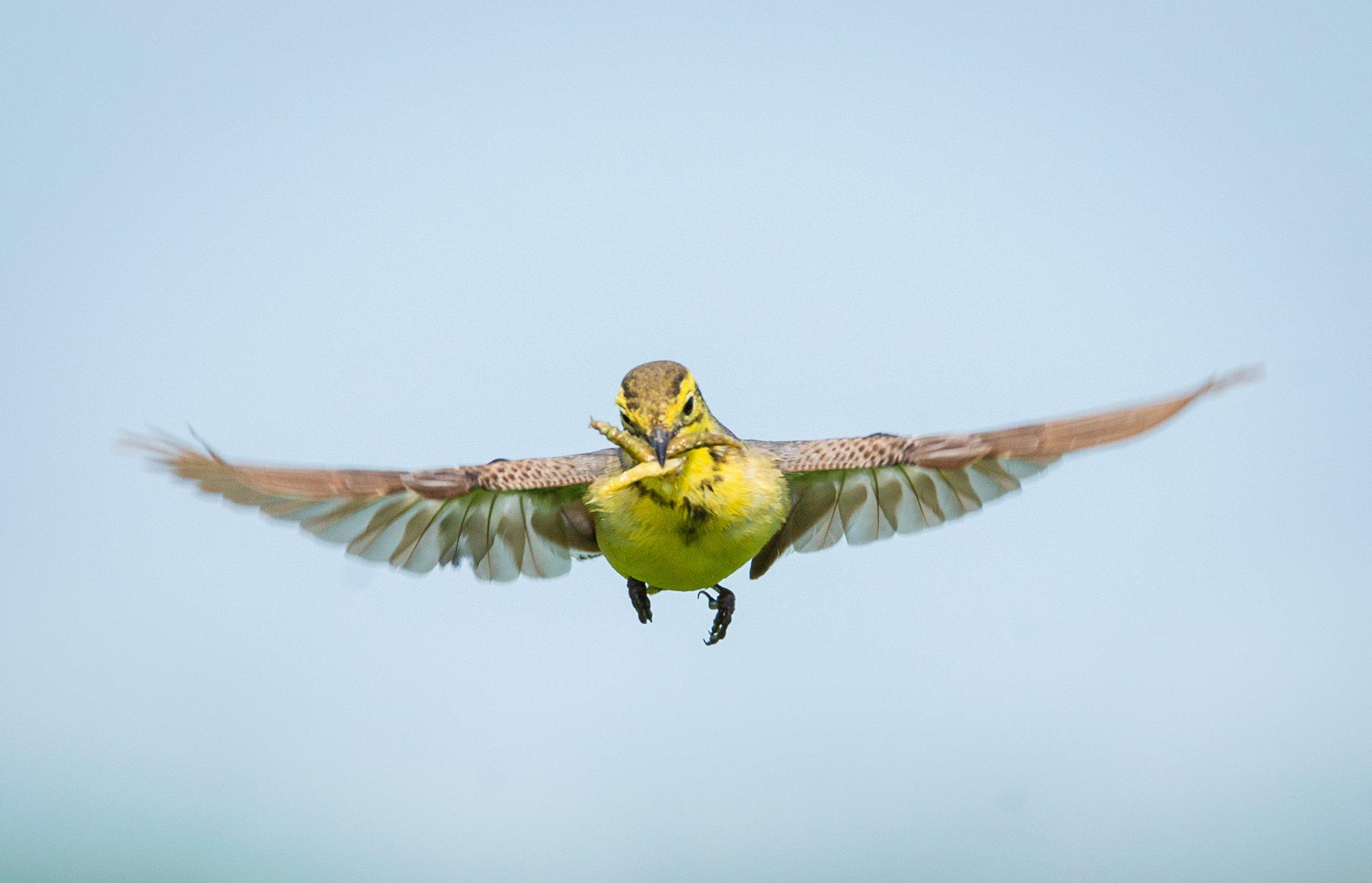 желтоголовая трясогузка, самка, citrine wagtail, motacilla citreola, птицы, birds, wings, Burov Evgeny