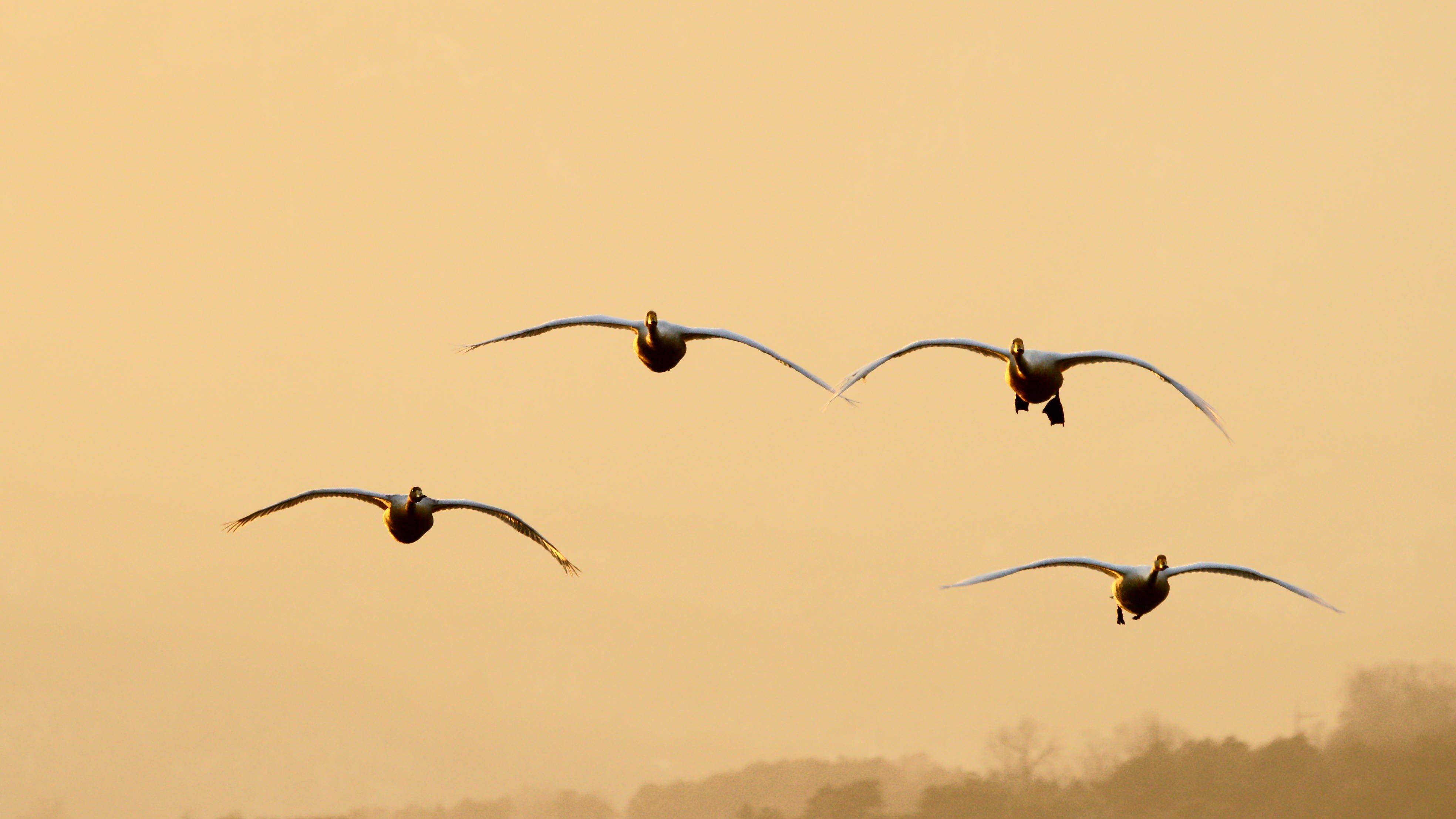 south korea, gyeonggido, winter, sunset, swan, animal, bird, sky, light,, Shin