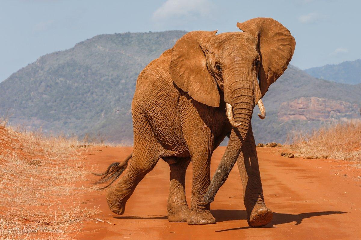 слон, красный_слон, саванна, пыль, почва, железо, Петруша Ольга