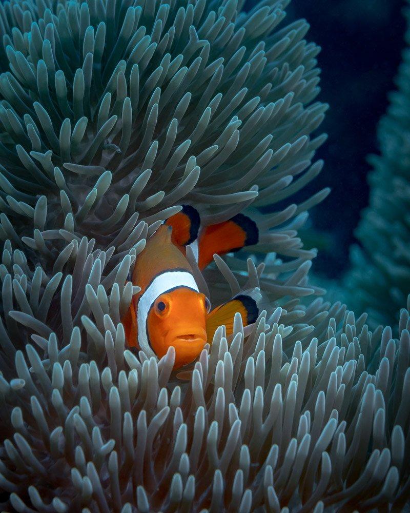 anemone, fish, underwater, macro, nemo, Савин Андрей