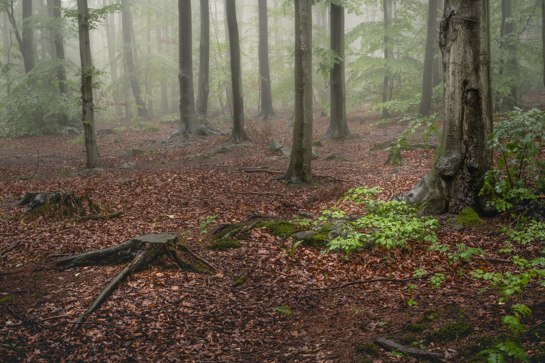 forest, fog, rain, spring, forest landscape, trees, mystical, mysterious, Myśliński Tomasz