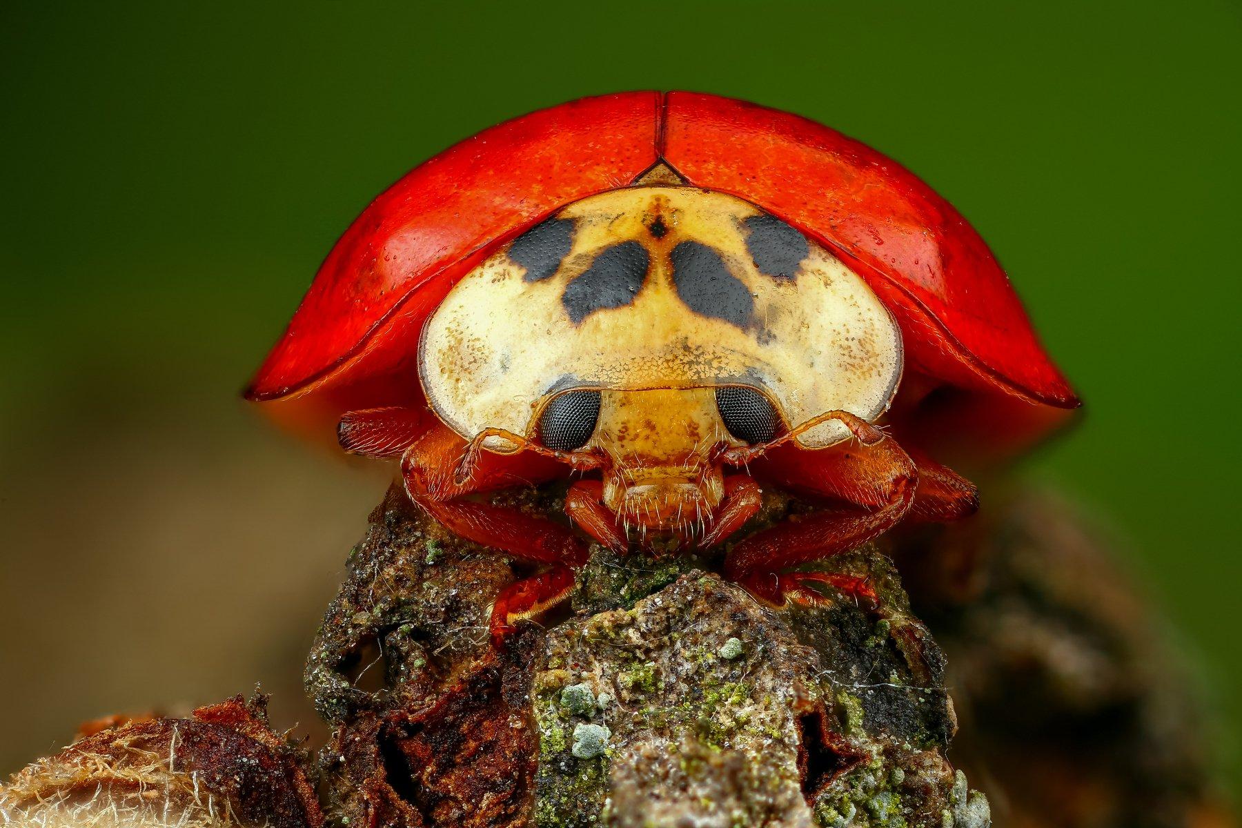 жук,макро,природа,усы,цвет,глаза,красный,насекомое,животное,зеленый, Шаповалов Андрей