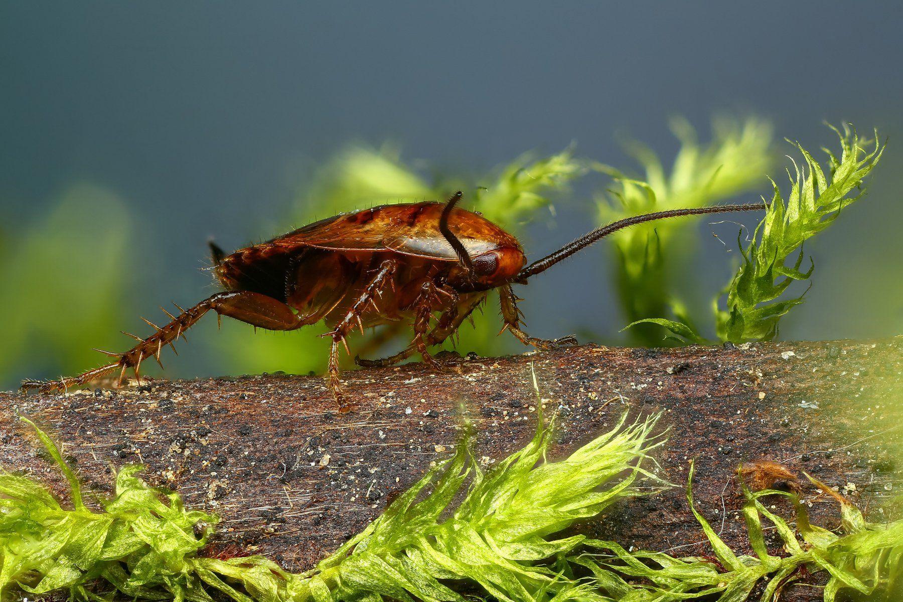 таракан,макро,природа,растение,цвет,синий,зеленый,животное, Шаповалов Андрей