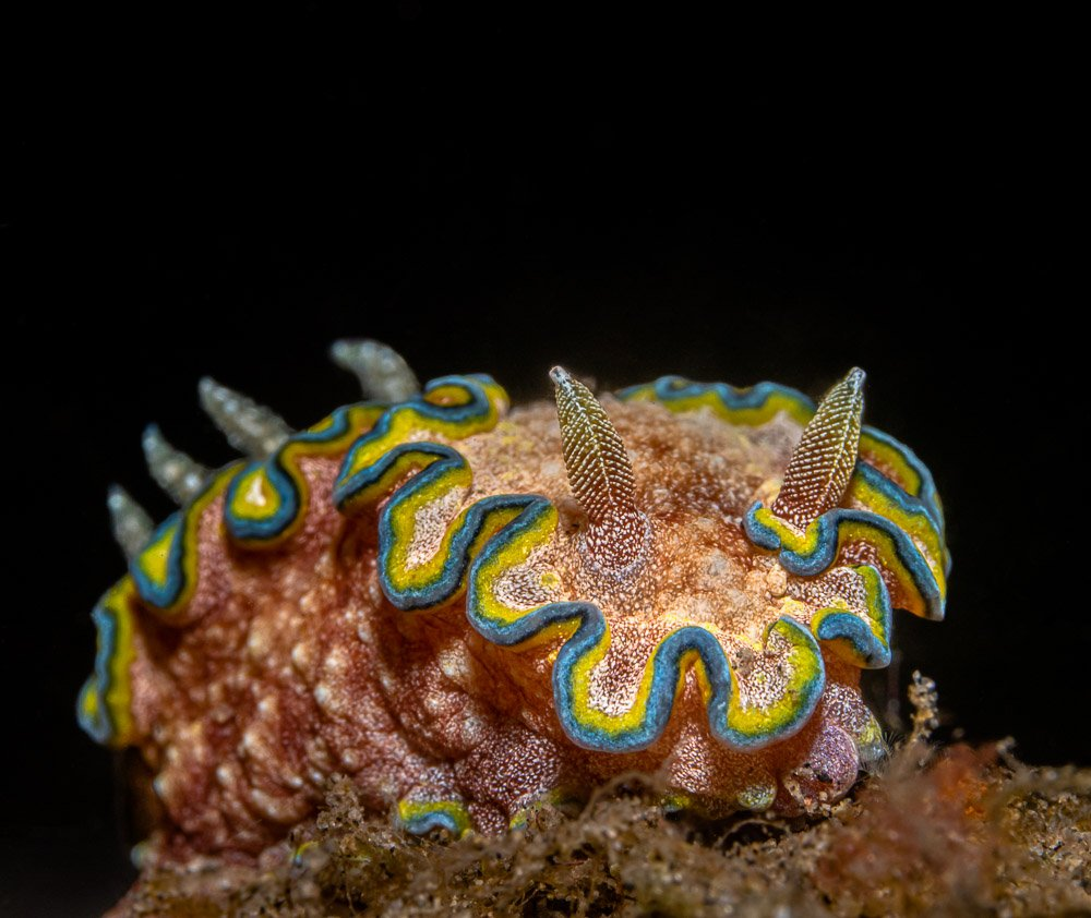 nudibranch, underwater, macro, Савин Андрей