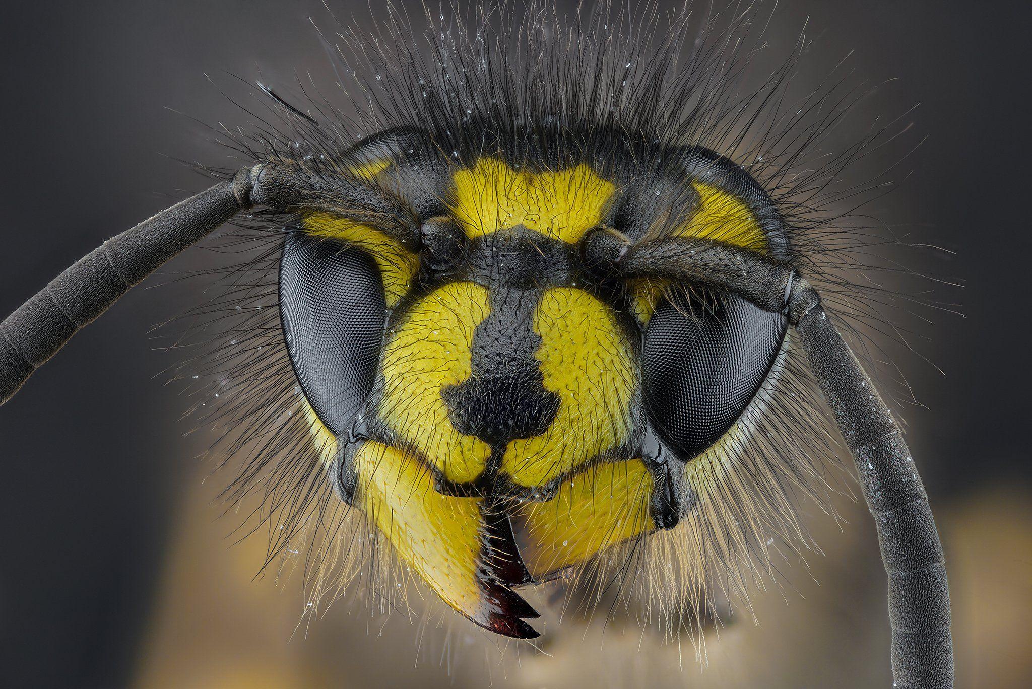 оса, насекомое, макро, супермакро, стекинг, Борис Фотомания