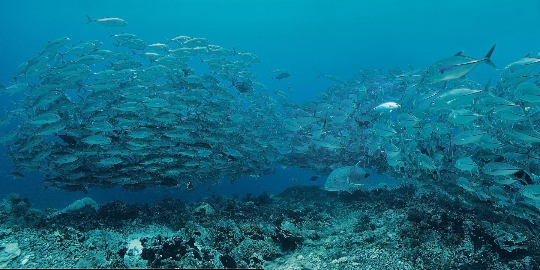 дайвинг, рыба, индонезия, стая, океан, Дмитрий