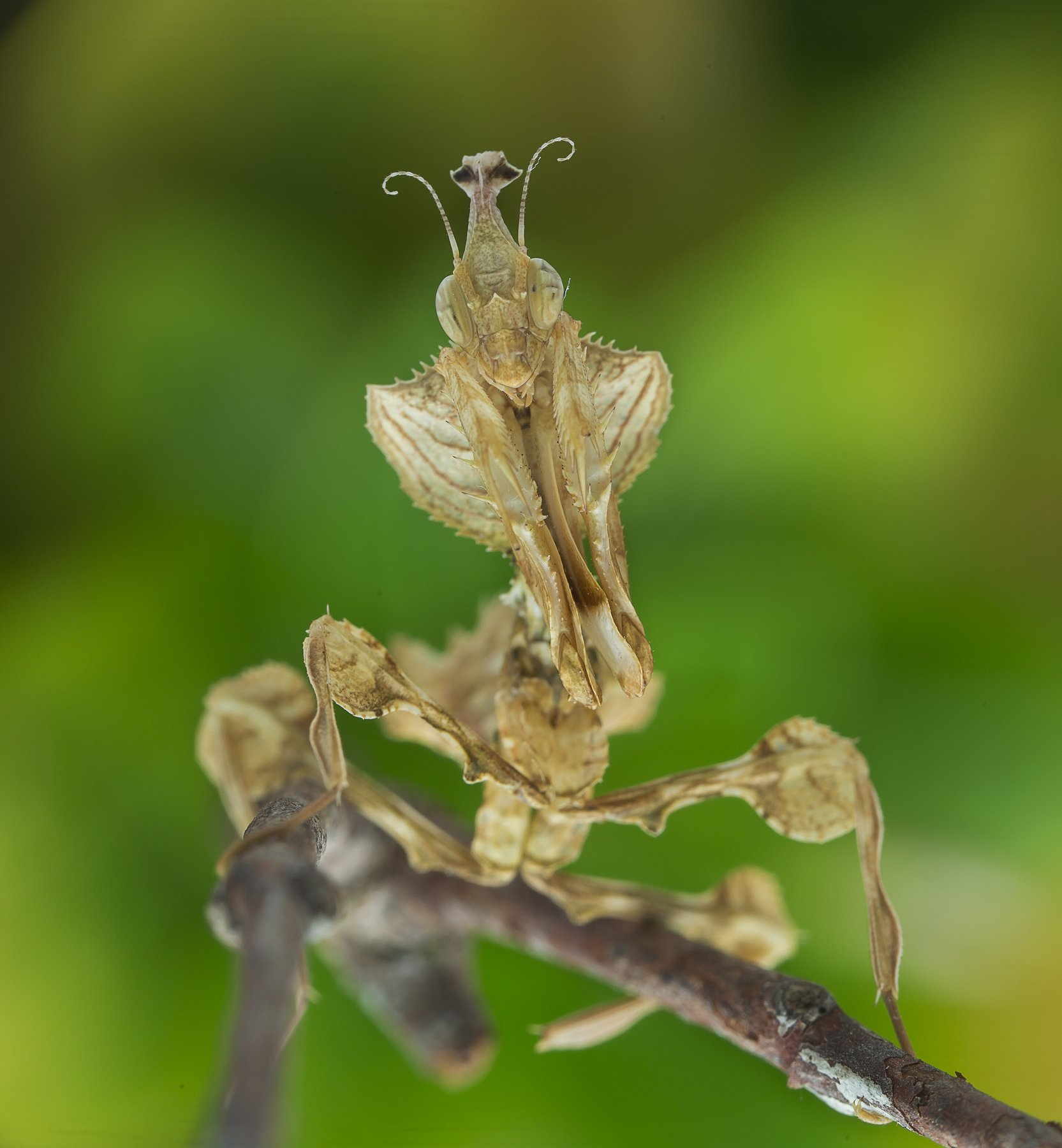 #mantis#macro#colors, Lim Choo How