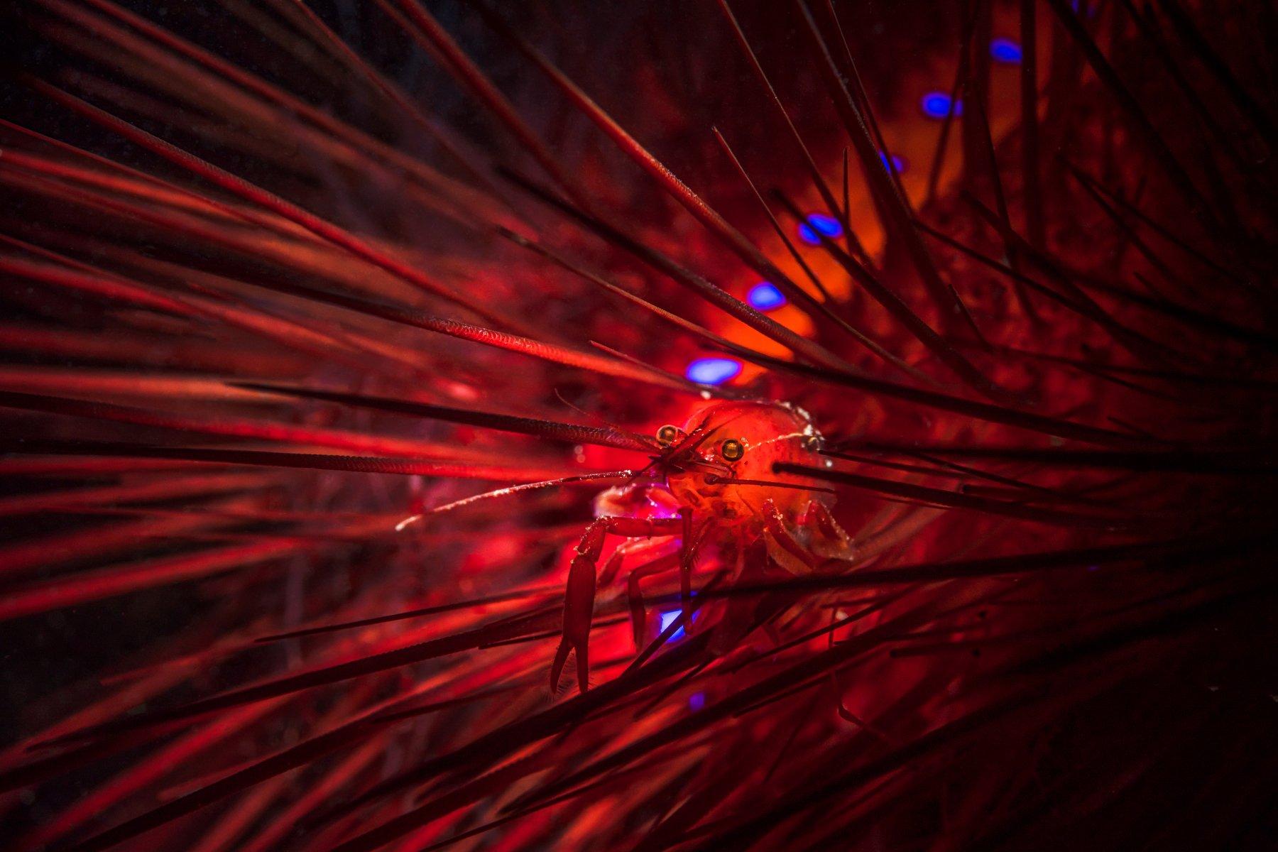 sea urchin, cleaning, shrimp, Савин Андрей