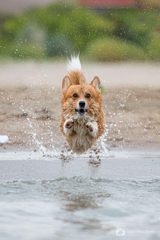 dog, pet, animal, mammal, pembroke, fly, jump, soar, water, bathe, fun, run, action, action photography, nadeika