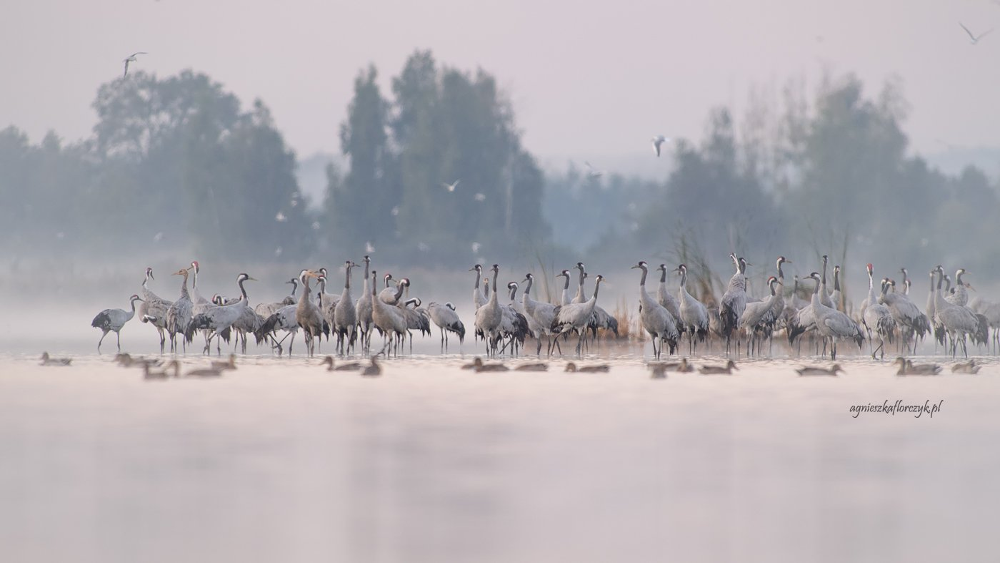 серый журавль, grus grus, crane, żuraw, Agnieszka Florczyk