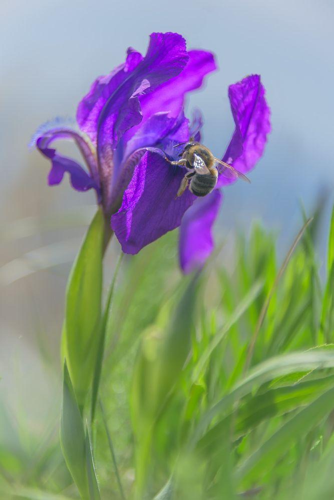 Вильчатый ирис - краснокнижное растение, которое расцветает вместе с первыми весенними цветами