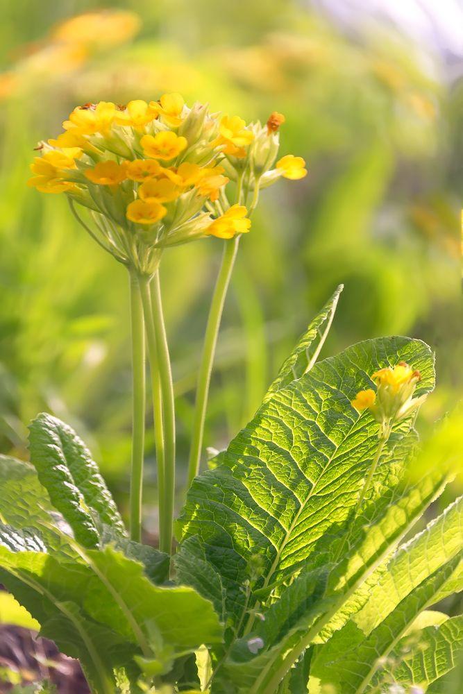 Первоцвет весенний или дикая примула. Соцветие первоцвета похоже на связку ключей, по легенде это ключи, которыми весна открывает двери в лето...
