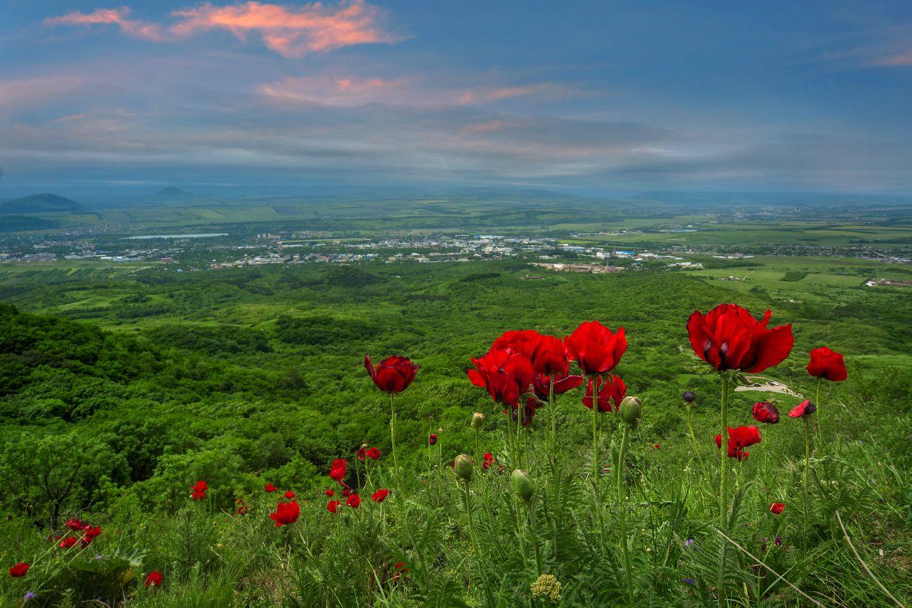 Маковая поляна на крутом склоне. Фотограф Елена Брежицкая