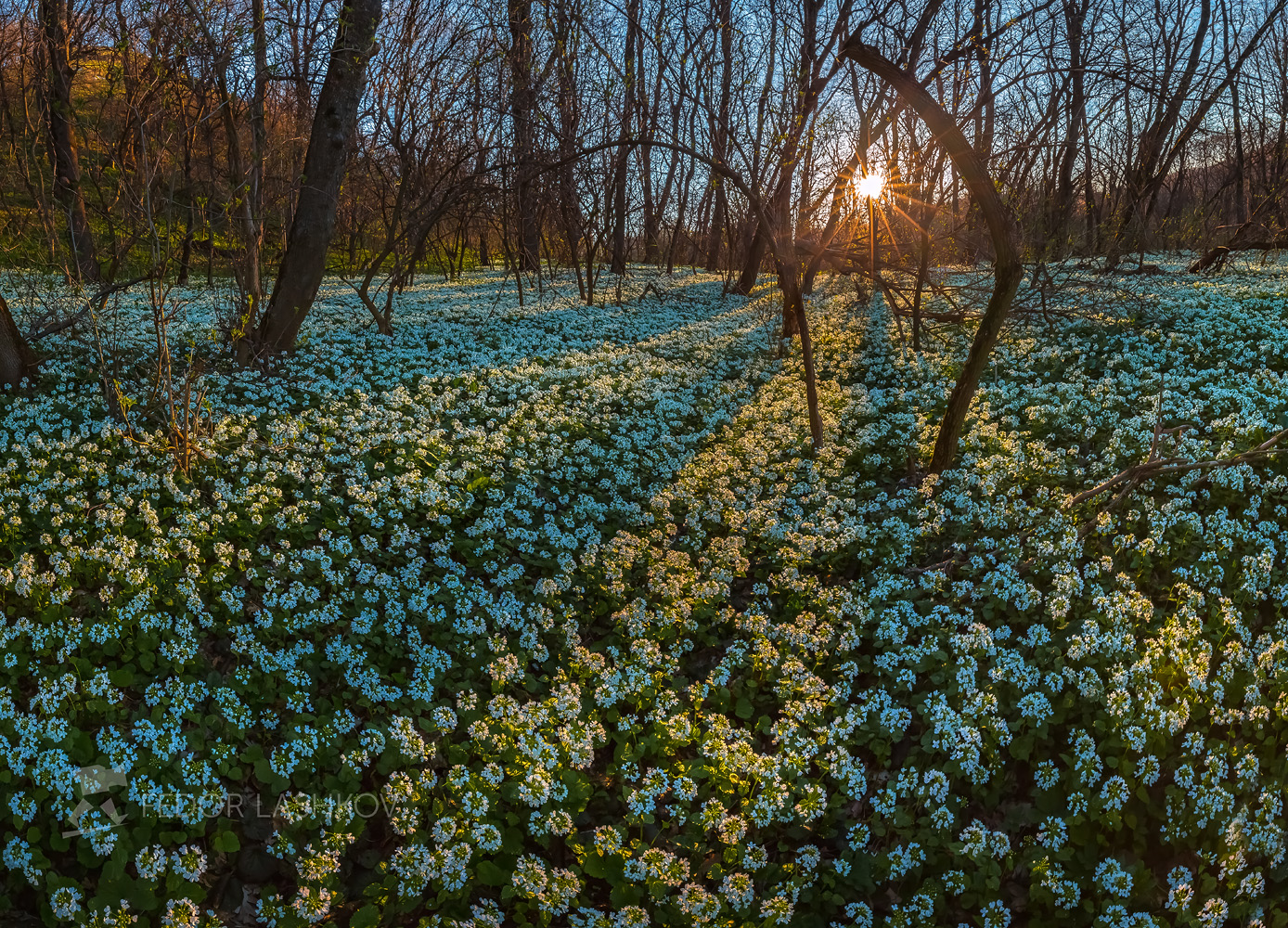 Весеннее волшебство в лесу. Лашков Фёдор