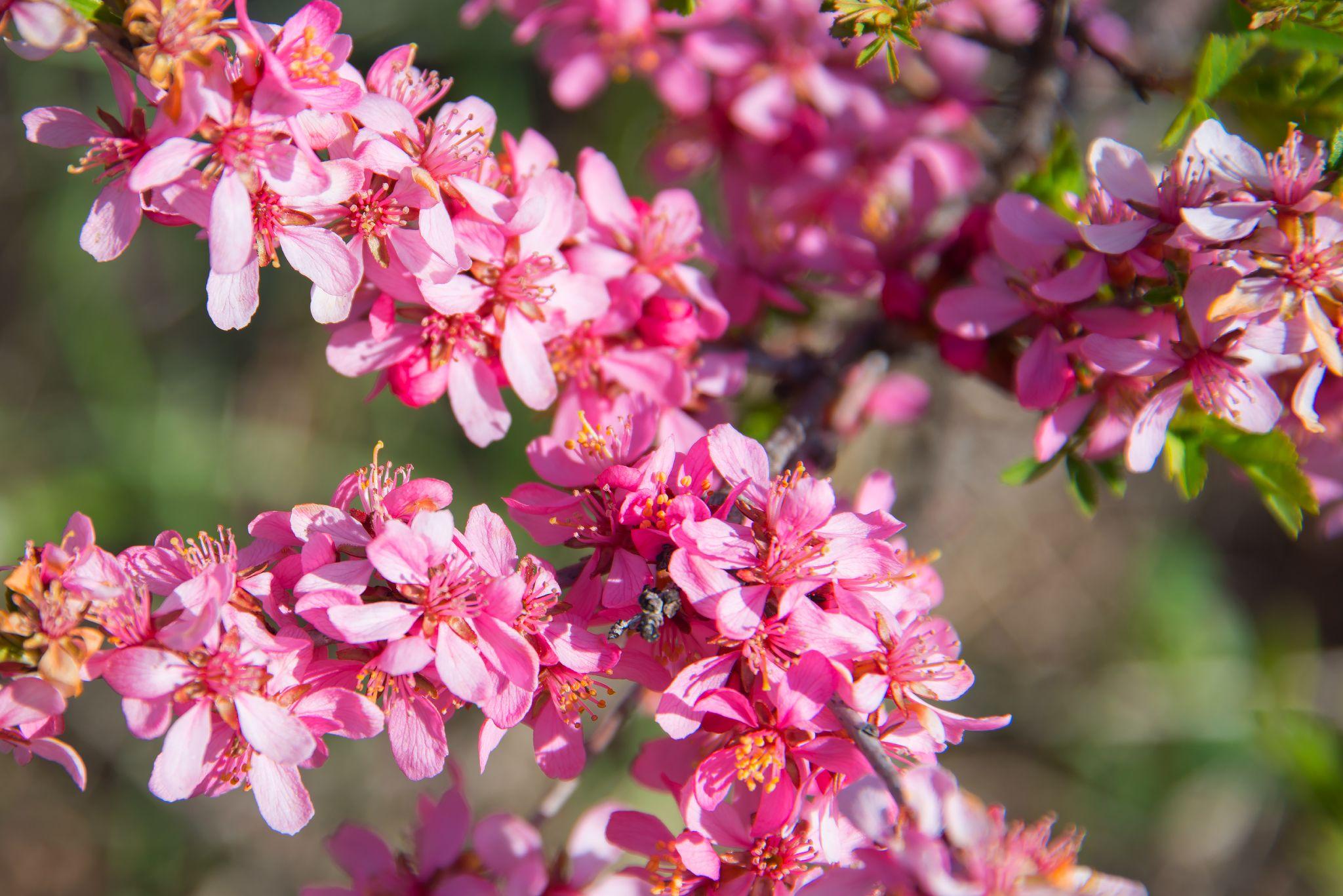 Цветет степной миндаль. Фотограф Елена Брежицкая