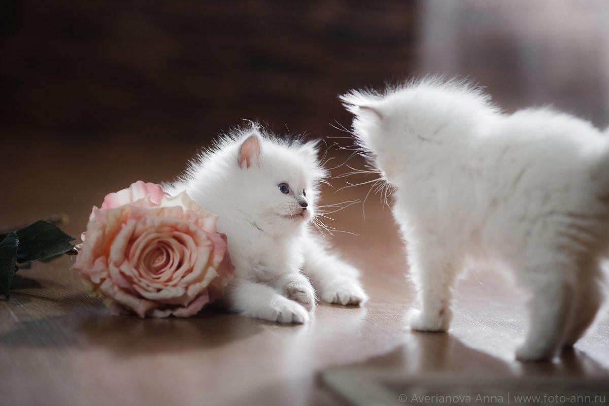 Нежные котята Анна Аверьянова