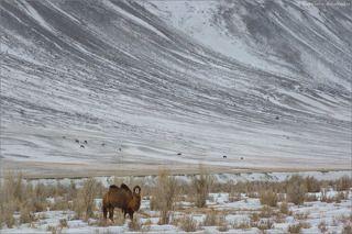 Чуйская степь, оазисы в долине реки Чаган, отроги ЮжноЧуйского хребта. В этой закрытой долине традиционно можно встретить стадо верблюдов, как впрочем и прочий домашний скот: лошадей, коров, яков, баранов, коз.