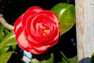 Цветок страсти, причем на деревянном заборе...