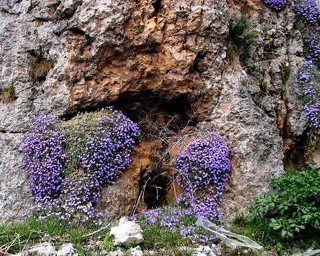 Цветы обриета или аубриета, по-народному – «пустозвон», – это род цветковых растений. Семейство крестоцветных. Многолетнее низкорослое растение. Цветок назван в честь французского художника Клода Аубриета. Можно встретить в южной Европе и Центральной Азии. Растение характеризуется яркими оттенками бутонов, которые цветут в белом, розовом и от фиолетового до синего цветов. Побеги короткие, образуют плотные заросли, напоминающие ковер. Листья растения небольшие, зеленого цвета, по форме овальные с цельными и заостренными краями. В длину вырастают до 25 сантиметров.