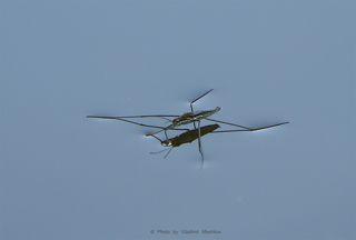 Водомерка - The Water Measurer - (лат. Gerridae)  Водомерка – насекомое, умеющее ходить по воде. Таких интересных созданий нетрудно наблюдать в живой природе,  отдыхая летом на берегу какого-нибудь спокойного пруда.  Водомерка имеет удлинённую форму, а по внешнему облику напоминает микроскопические лодочки, бойко скользящую  по поверхности воды. Водомерка (класс насекомые) является обладательницей длинных тонких ног, с помощью которых  с лёгкостью передвигается по глади водоёмов, похожая на конькобежца-виртуоза, об искусстве и мастерстве которого позаботилась сама природа.   Тело таких созданий, как можно убедиться на фото водомерок, внешне сравнимо с тоненькой палочкой. Брюшко их сплошь  покрыто белыми волосками, снабжёнными особым воскообразным веществом, поэтому маленькое тельце существа и его  ножки не намокают во время движения по воде.   Кроме того, между микроскопическими волосками образуются пузырьки воздуха, дающие возможность насекомым не погружаться  в водную гладь, при всём при том, что мизерный вес их и так тому способствует. В этом всё объяснение тому, почему водомерка не тонет. Искусно передвигаться этим созданиям помогает также строение ножек. Они хоть и тонкие, но в местах прикрепления к туловищу значительно  утолщены и снабжены чрезвычайно сильными мышцами, помогающими развивать огромную, в сравнении с размерами этих существ, скорость.  Описание водомерки можно продолжить, упомянув, что в природе обитает около семи сотен видов таких маленьких созданий.  Принадлежа к отряду клопов, водомерки являются ближайшими родственника этим насекомым. Среди известных видов – большая водомерка, тело которой достигает в длину около 2 см. Она имеет крылья и рыжеватую расцветку тела.  Прудовая водомерка величиной не более сантиметра, окрашена в буроватый тёмный цвет и обладает светлыми конечностями.  Самцов и самок этой разновидности насекомых легко отличить по цвету брюшка, так как в первом случае оно чёрное, а во втором – красное.  Почему водомерку так назвали? Н