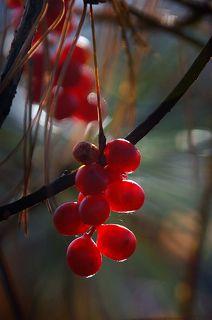 У-вэй-цзы - так называют в Китае лимонник, в переводе это означает «ягода пяти вкусов».