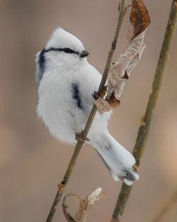 Белая лазоревка (Князёк)