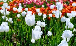 Тюльпаны розовые, на Ломоносовском проспекте...