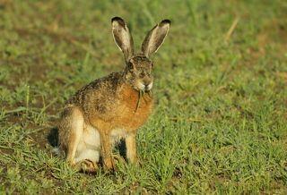 Заяц-русак.(Lepus europaeus)
