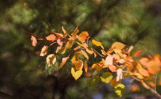 Ярко-желтые листья видны издалека..!
