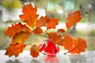 Листья красного дуба