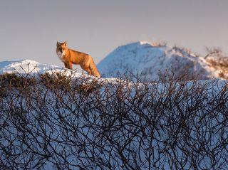 Сахалинская лиса посетила нас на зимовке