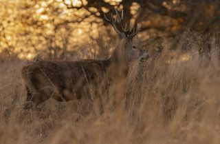 Red Deer in Sunset