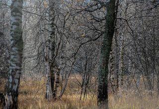 02 Простой берёзовый лес, немного солнца и капли дождя на ветках деревьев ...