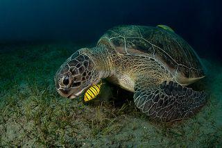 Размножаются зеленые черепахи также, как и другие виды, откладывая яйца в песок выше уровня воды. Все остальное время черепахи проводят в море. Малыши питаются, как правило, планктоном, и в возрасте 1-2 лет уходят в открытый океан, где и проводят около 5 лет. Именно поэтому мы так редко видим маленьких черепах.