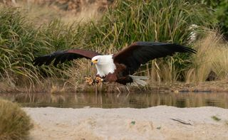 African Fish Eagle in action