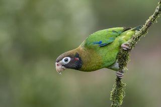 Brown-hooded Parrot (Pyrilia haematotis) Loro Cabecipardo (Lora) R