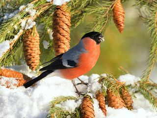 Появление снегиря считается хорошей приметой – обычно этих птиц называют символом любви и благоприятных известий.