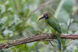 Northern Emerald-Toucanet (Aulacorhynchus prasinus) Tucancillo Verde (Curré, Curré Verde) R
