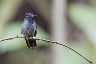 Violet-headed Hummingbird (Klais guimeti) Colibrí Cabeciazul R
