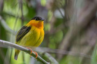 Orange-collared Manakin (Manacus aurantiacus) Saltarín Cuellinaranja (Quiebrapalos, Hombrecillo) R-END